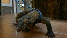 Komodowaran - Training
